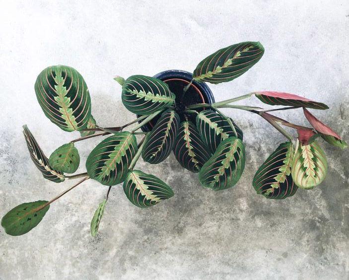 Planta de interior Maranta