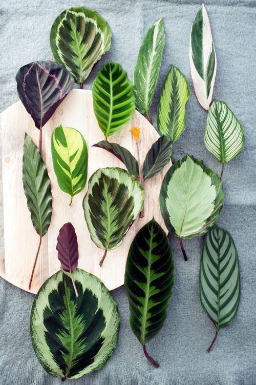 Imagen de hojas de variedades de Maranta Planta de interior