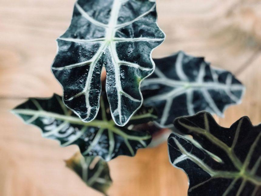 Imagen de planta Alocasia Sanderiana