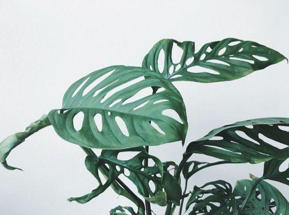 Imagen de planta Monstera Obliqua