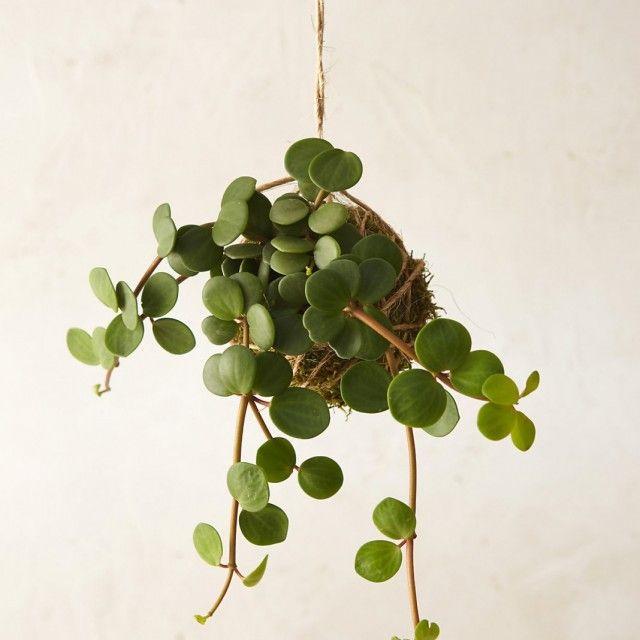 Planta de interior Pellaea rotundifolia