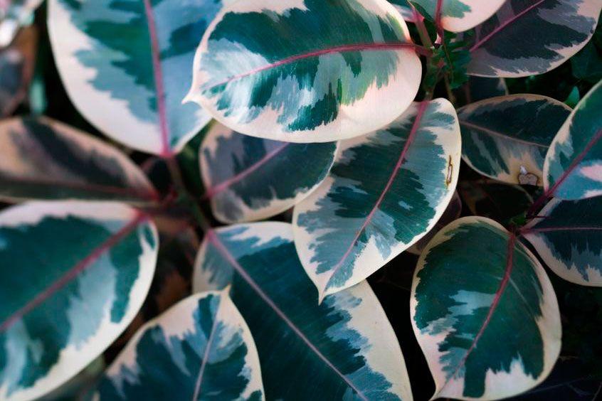 Ficus Elastica Ruby