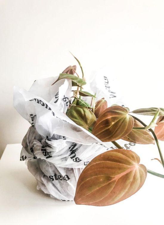 Philodendron Micans de Tienda Monstera para En Abril Hojas Mil