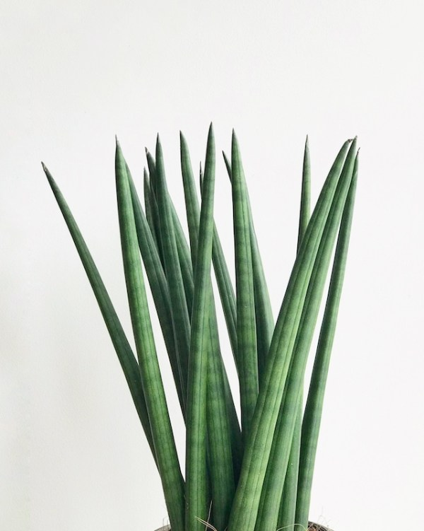 Detalle de Sansevieria cylindrica