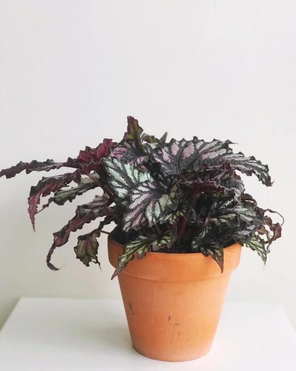 Begonia rex en maceta de terracota
