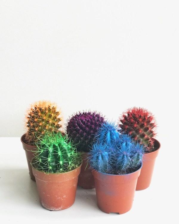 cactus de colores mini