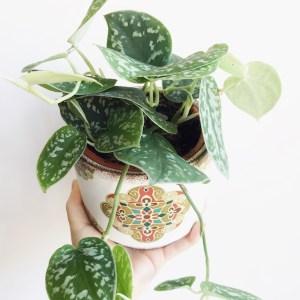 Planta de interior Scindapsus pictus