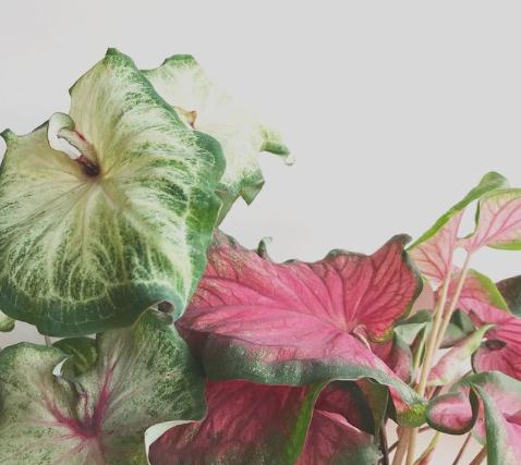 Caladiums verde y rosa
