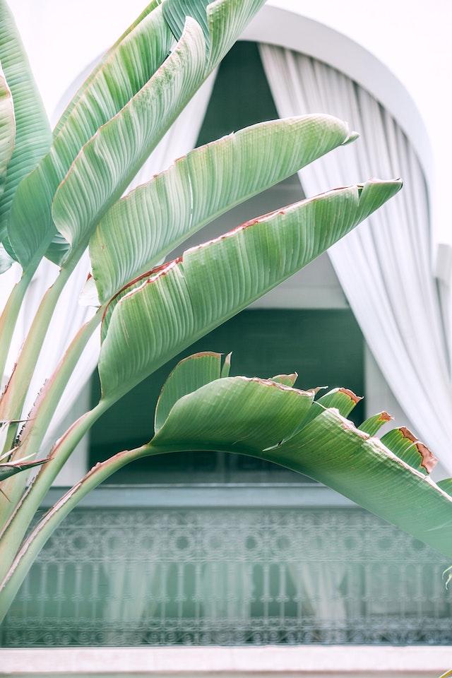 Strelitzia nicolai en exteriores
