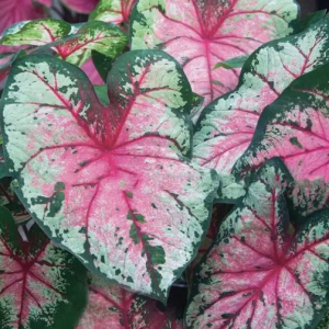 Bulbo de caladium