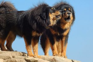 10 Most Expensive Dog Breeds In The World 18