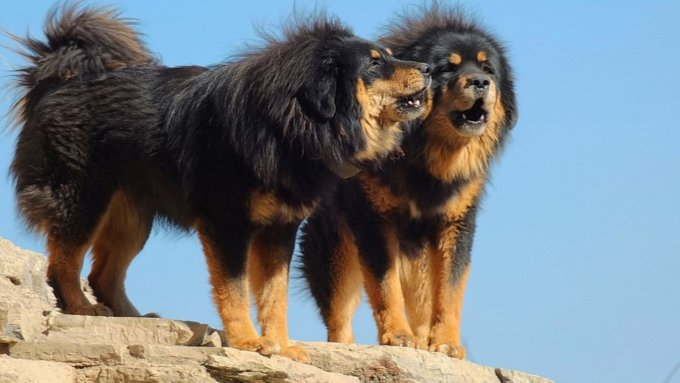 10 Most Expensive Dog Breeds In The World 2