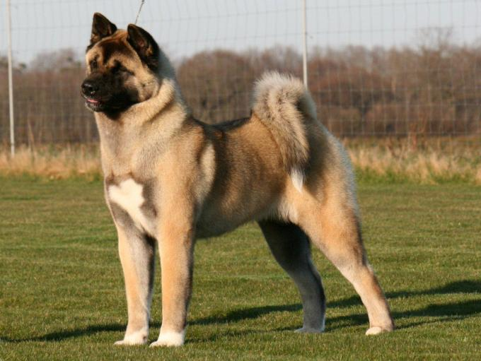 10 Most Expensive Dog Breeds In The World 7