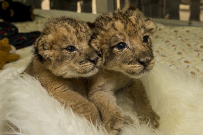 Brother and sister lion cubs.