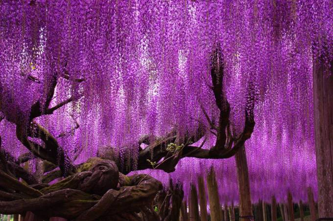 Wisteria-Tree-Ashikaga-Flower-Park-Japan
