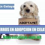Perros en Adopcion en Celaya