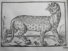 145. MÜNSTER. La cosmographie universelle. [Bâle, Henry Pierre, 1556]. Panthère