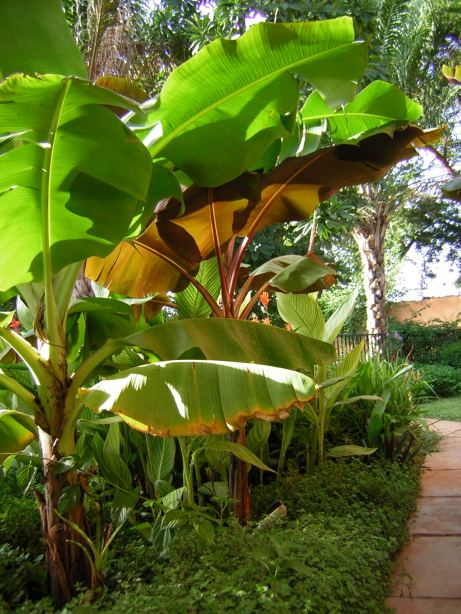 AFTER: bananas along the side walkway