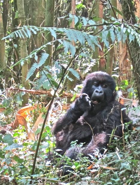 A baby mountain gorilla.