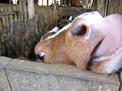9b calf closeup