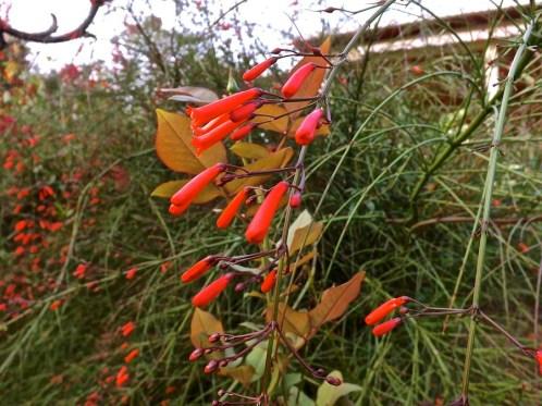 Russelia equisetiformis or coral or firecracker plant