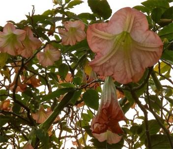 Brugmansia or angel's trumpet, GBBD, enclos*ure