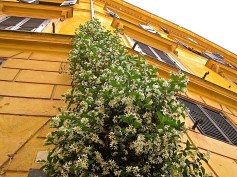 Jasmine flowers bloom along a downspout in the center of Rome