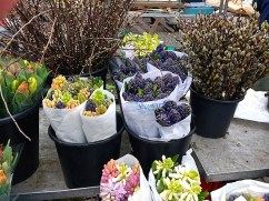 Cut Dutch hyacinths.