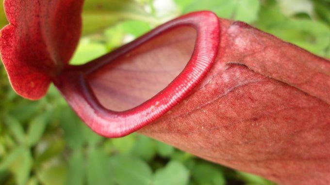 赤く充血したエロい花びらは性器みたい!