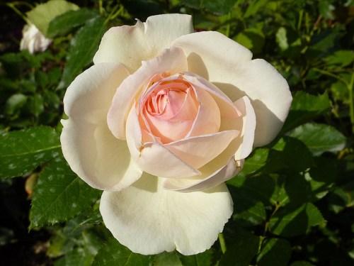Rose du Palais Royal, CpaKmoi, flickr.com