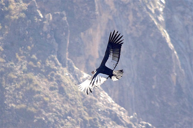 Condor Sighting in Chonta Cusco