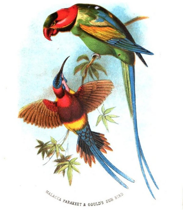 Malacca Parakeet