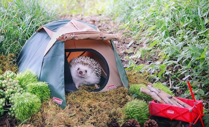Azuki the Hedgehog Went Camping And Stayed In A Tiny Tent