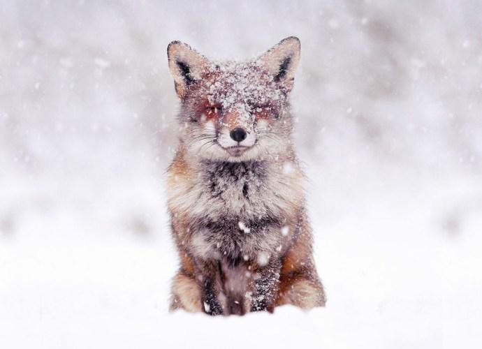 Wild foxes photographs
