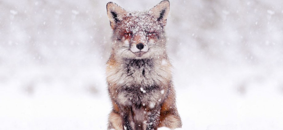 Wild foxes photographs
