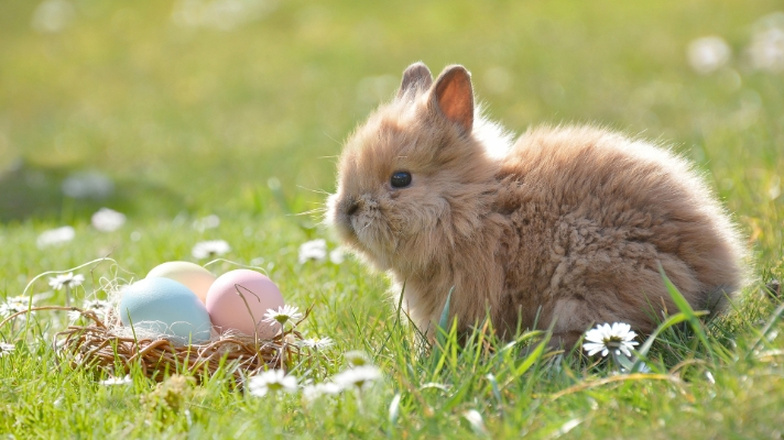 A fluffy Easter bunny sitting in front of three coloured eggs