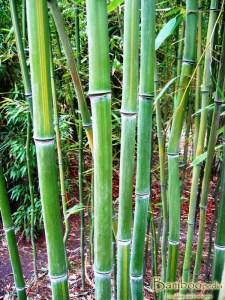 Fylostachys długowieczny (Phyllostachys vivax) 'Huanwhenzu'