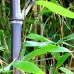 Fylostachys czarny (Phyllostachys nigra)