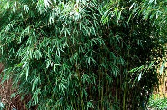 Fargesia olbrzymia (Fargesia robusta) 'Pingwu'
