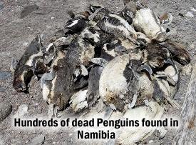 Dead Penguins Namibia