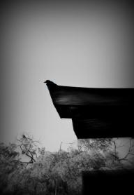 Old Crow Gaze