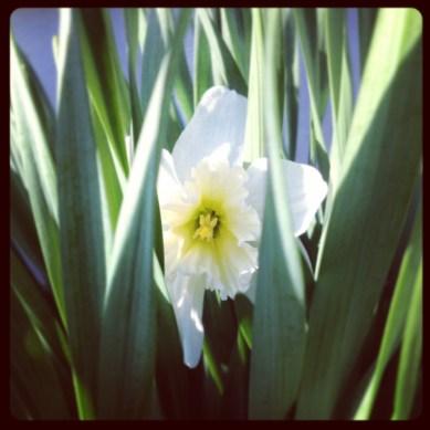 Secret Daffodil