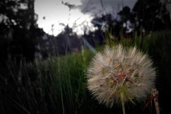 Dandelion Adrift
