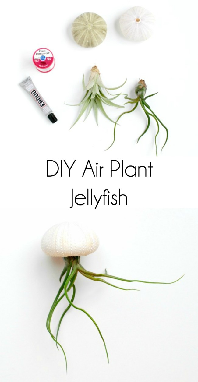 Use air plants and sea urchin shells to make the cutest little air plant jellyfish!