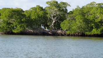 White pelicans on a mangrove island in the estuary of the 10,000 Islands