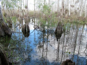 "Cypress ""knees"" emerging from the swamp"