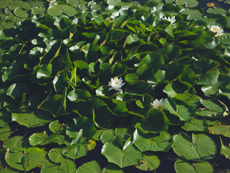 Lilly Pads in the Aga Khan Gardens