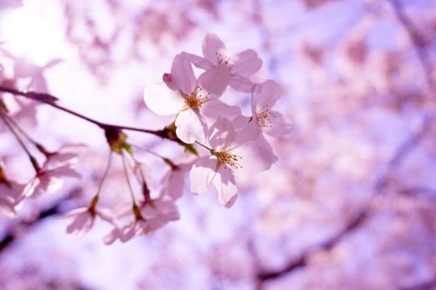桜めぐりだ!!ピクニック〜♡♡