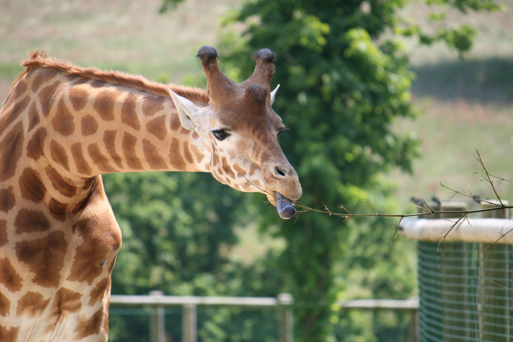 La langue bleue de la girafe