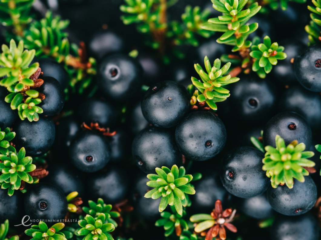 Crowberry in Greenland Photo: Terhi Jaakkola
